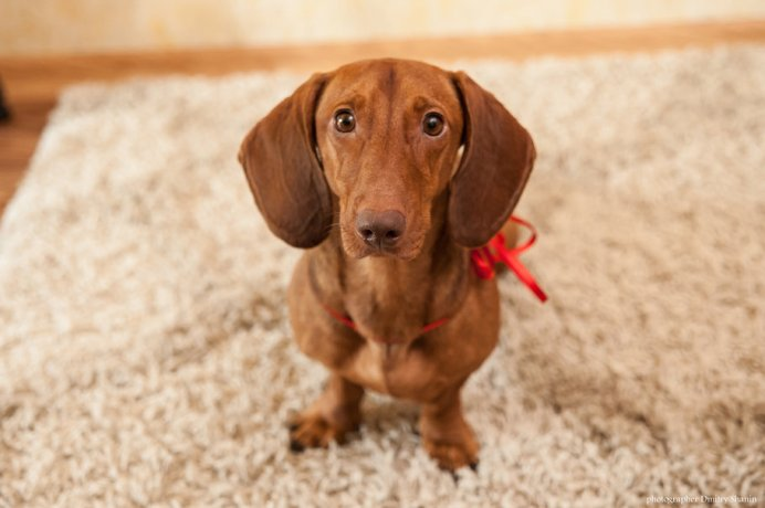 99083__dachshund-sad-home-carpet-view-wedding_p